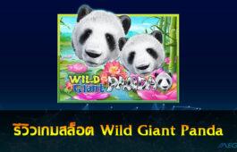 Wild Giant Panda